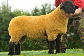 Ballynaconnon Suffolk Lambs for Sale at Stirling