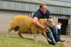 Charollais Premier Sale pictures now online