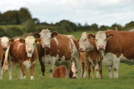 Ireland's largest sale of Simmental X heifers clearance of 98%
