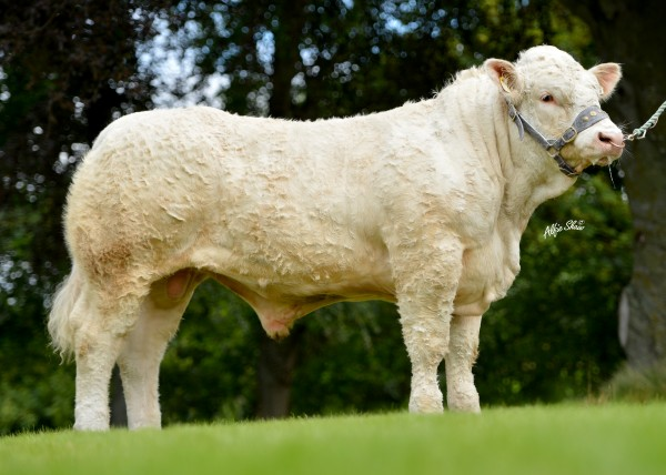 Glenlivet Ideal by Castellmawr Danial, if not retained for herd sire Ideal will be offered for sale in Stirling in October