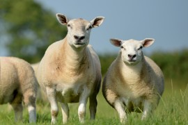 NI Texel Premier Show & Sale Monday 11th & Tuesday 12th August