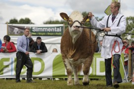 Irish Simmental Tullamore Show images now online