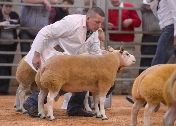Click the link below to view more images from Irish Beltex sale in Dungannon V