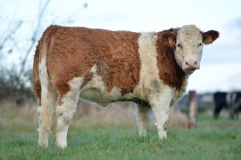 Curaheen offer females for sale at Tullamore 29th Nov