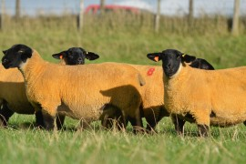 Forkins Gimmers for sale 17th November at Ballymena