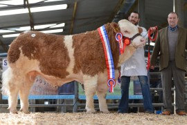 Average Prices & Clearance Rates Up at Simmental Premier Show & Sale