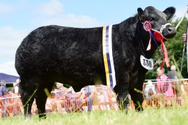 Corrie & Neill team lift the Commercial Champion at NI Limousin event at Antrim Show