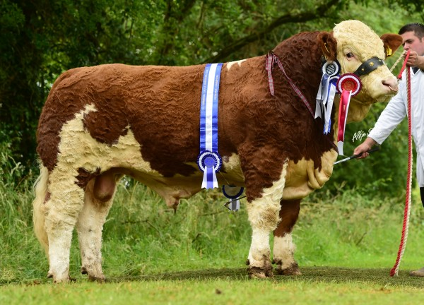 Chris Traynor, Moy lifted Reserve Interbreed title at Clogher Valley Show with Kilmore Floyd after winning Reserve Overall Simmental Champion. Click the link below for more images