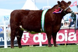 Commercial, Irish Molie, Shorthorn and Dexter images now online