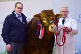 NI Limousin Sale 13th February 2017 – Portrait and Ringside Images Now Online