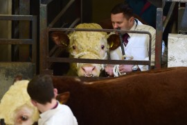 Elite Hereford Breeders Sale February 2017 Online Now