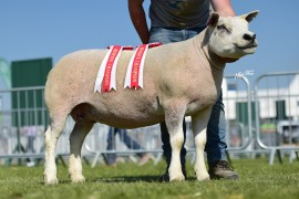 Cherryvale flock win Texel Championship