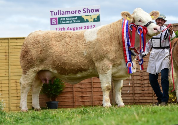 Overall Simmental Champion, Female Champion & Senior Cow 'Clonagh Darling Eyes ET' exhibited by Behan Family