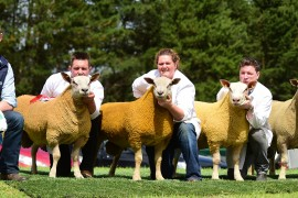 NI Charollais Sheep images now online
