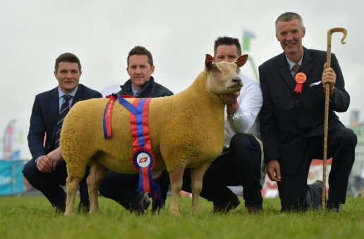 Charollais ewe wins sheep interbreed title at Balmoral